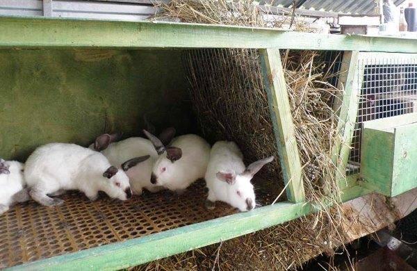 Разведение кроликов как бизнес: выгодно или нет, организуем ферму, рентабельность, бизнес-план