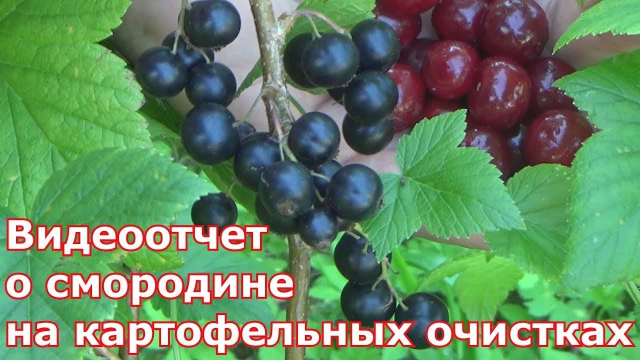 Когда и чем подкормить кусты смородины весной: народные средства и удобрения для хорошего урожая