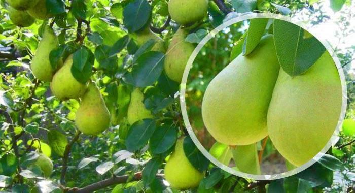 Характеристика сорта груш виктория - агрономы