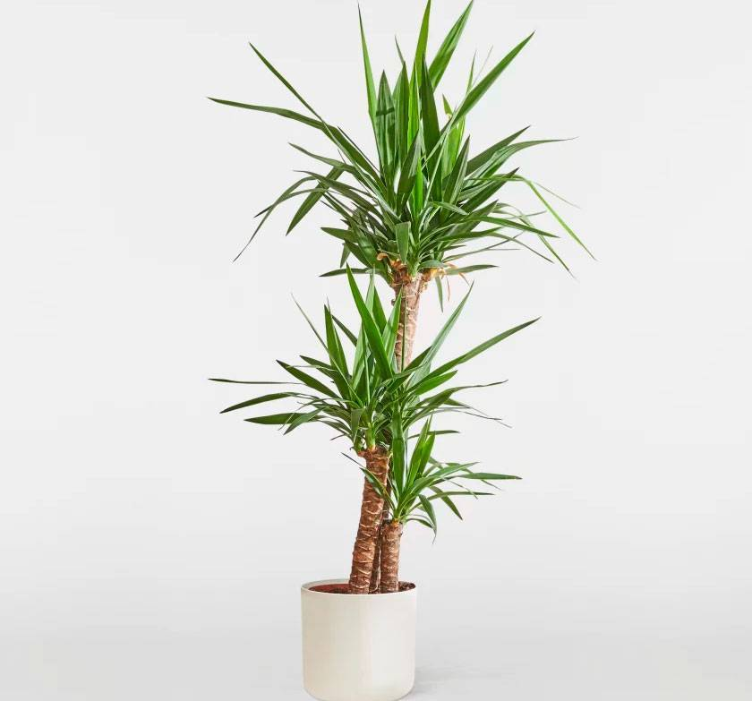 Пальма юкка, уход в домашних условиях, фото комнатной юки