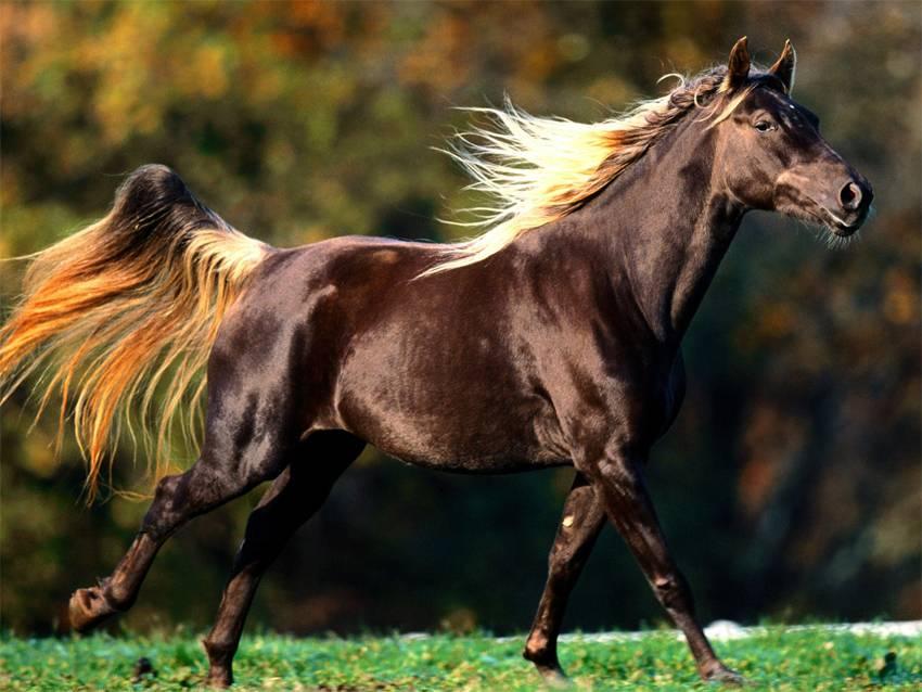 Английская лошадь: фото, применение породы, история разведения, характер и поведение лошадей, уход
