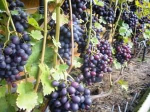 ᐉ краса никополя - сорт винограда - roza-zanoza.ru