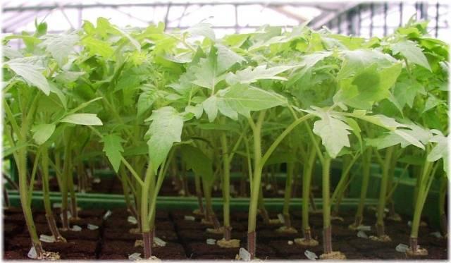 Рассада помидоров: высадка в грунт. мастер-класс с фото