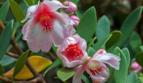 Как цветет хойя мультифлора — размножение цветка, посадка, уход