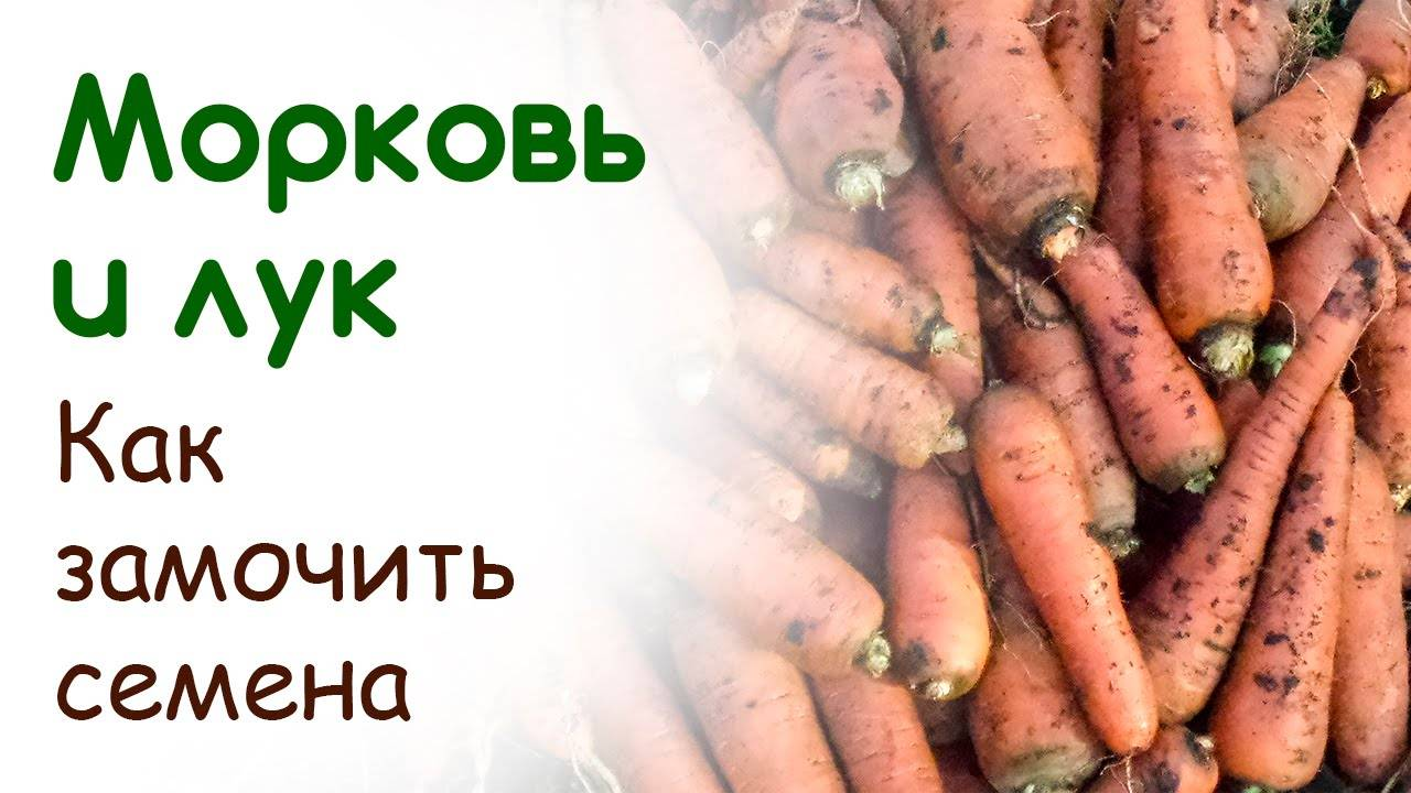 Как подготовить и обработать семена моркови перед посевом в открытый грунт