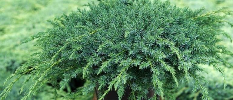Особенности посадки чешуйчатого можжевельника блю карпет: виды можжевельника, критерии выбора, уход