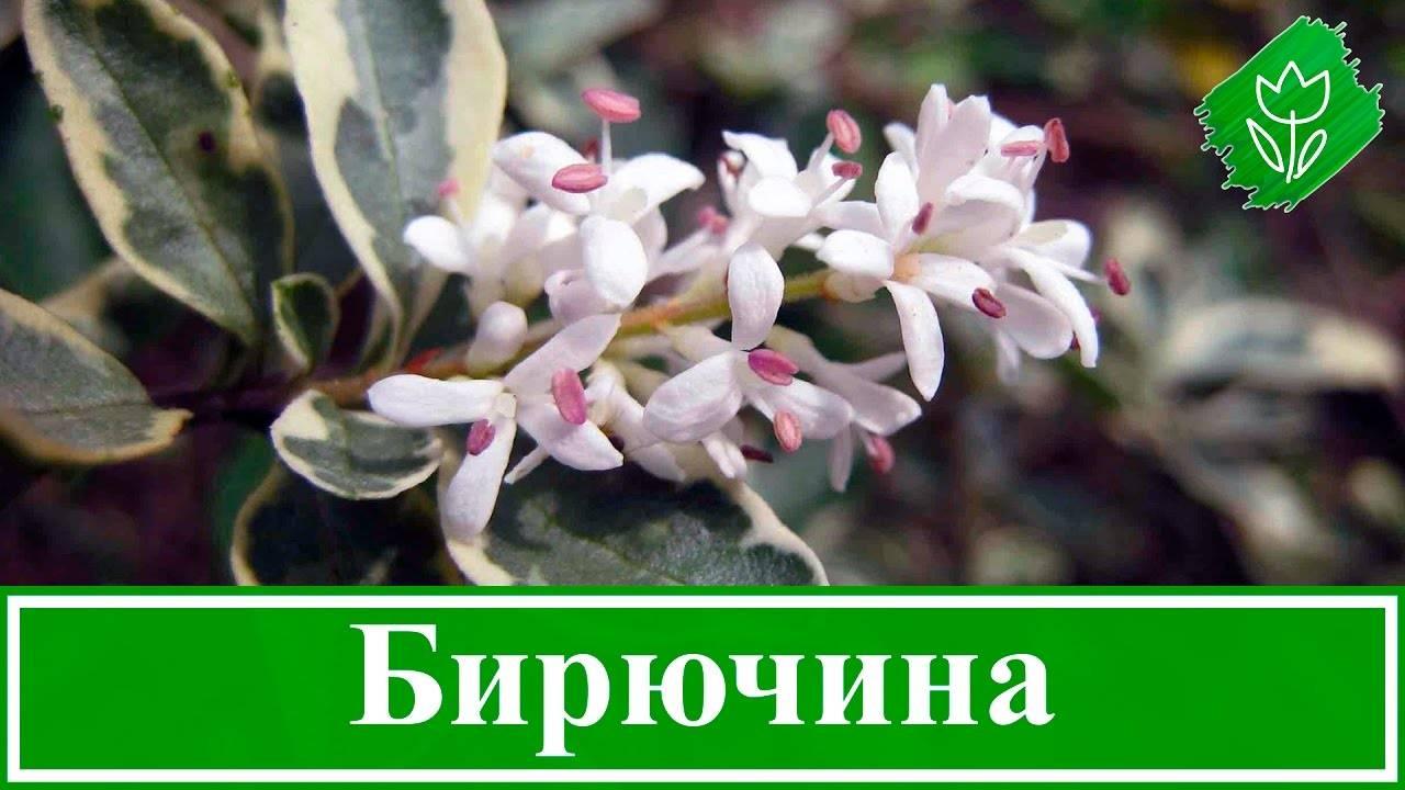 Бирючина обыкновенная: живая изгородь, посадка и уход