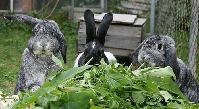 Дополнительный откорм кроликов | кролики. разведение и содержание в домашних условиях