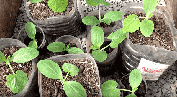 Методы посадки кабачков – особенности и тонкости процесса