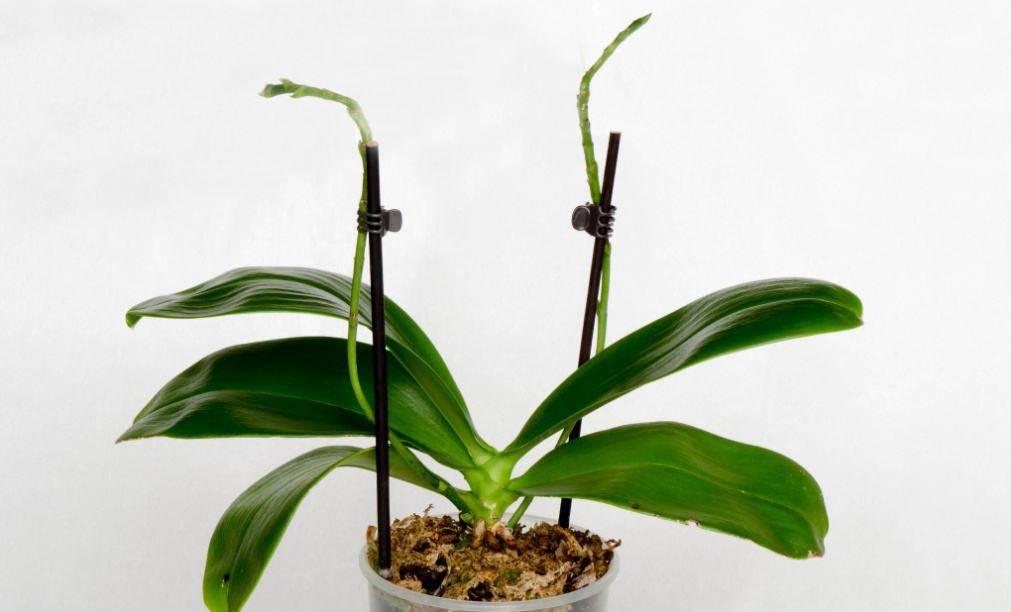 Как спасти орхидею, если у нее сгнили корни: советы, инструкция