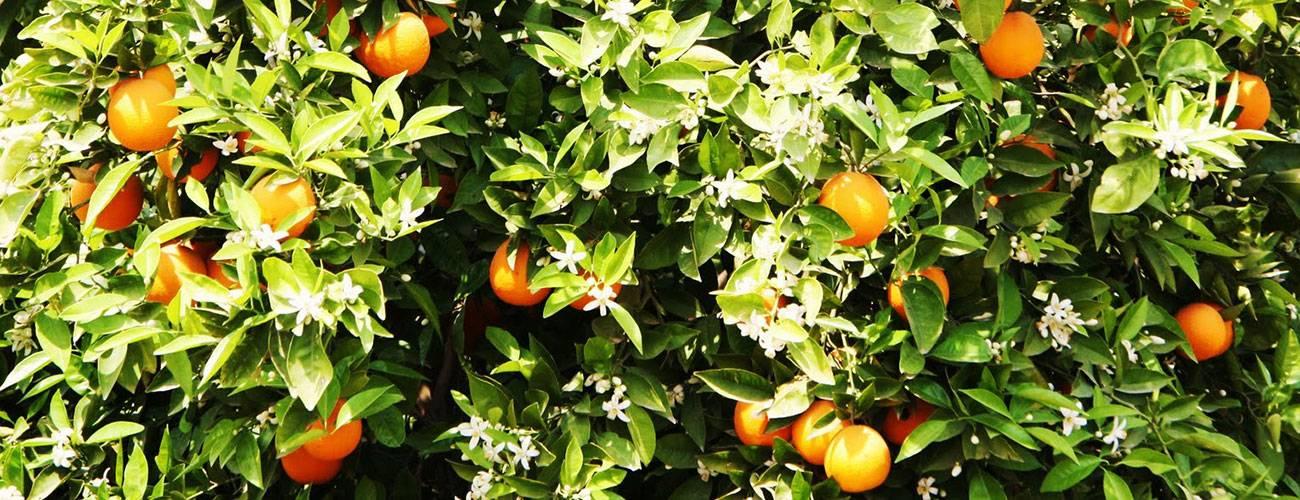 Название зеленого апельсина