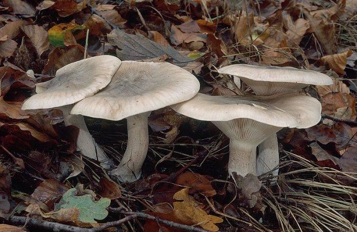 Грибы говорушки (clitocybe): информация, где растут, виды, фото