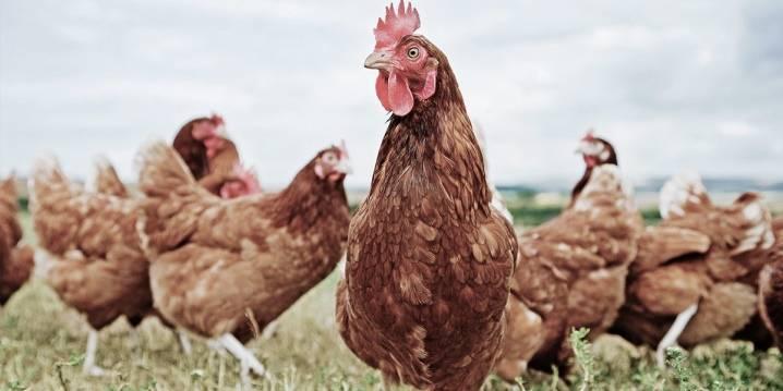 Несется ли курица без петуха и как это происходит