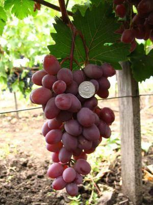 Виктория — один из самых вкусных сортов винограда