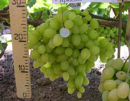Обзор столового сорта винограда аркадия