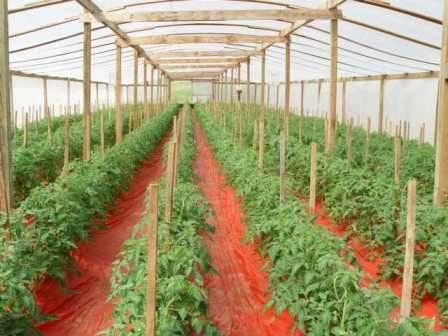Как правильно подвязывать помидоры в открытом грунте