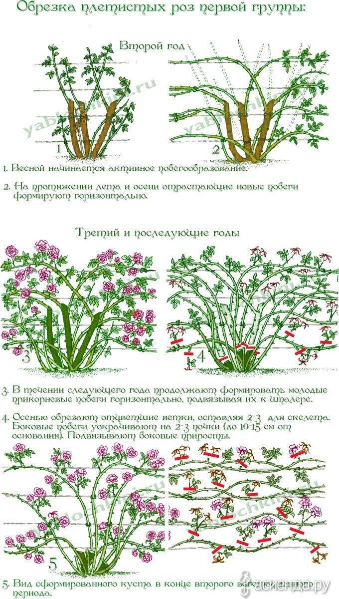 Обрезка плетистых роз — клаймеров и рамблеров. правила, сроки. фото — ботаничка.ru