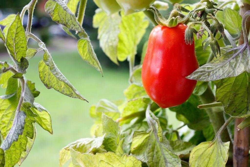 Томат чудо уолфорда: характеристика и описание сорта, фото, отзывы, урожайность