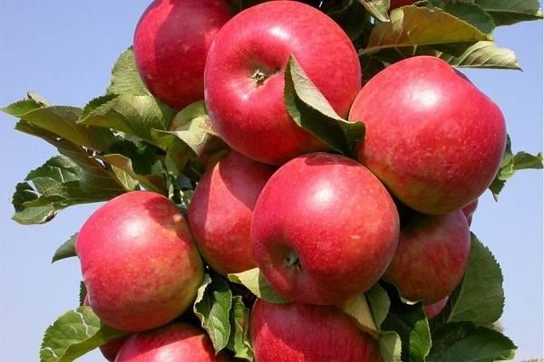 Описание сорта яблони созвездие: фото яблок, важные характеристики, урожайность с дерева