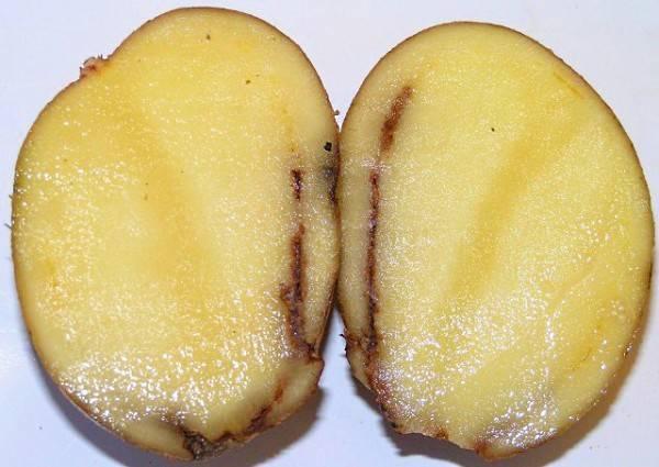 Что делать, если гниет картофель в земле и почему так происходит