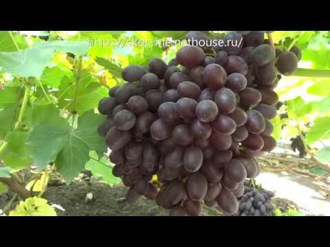 Виноград в беседочной культуре