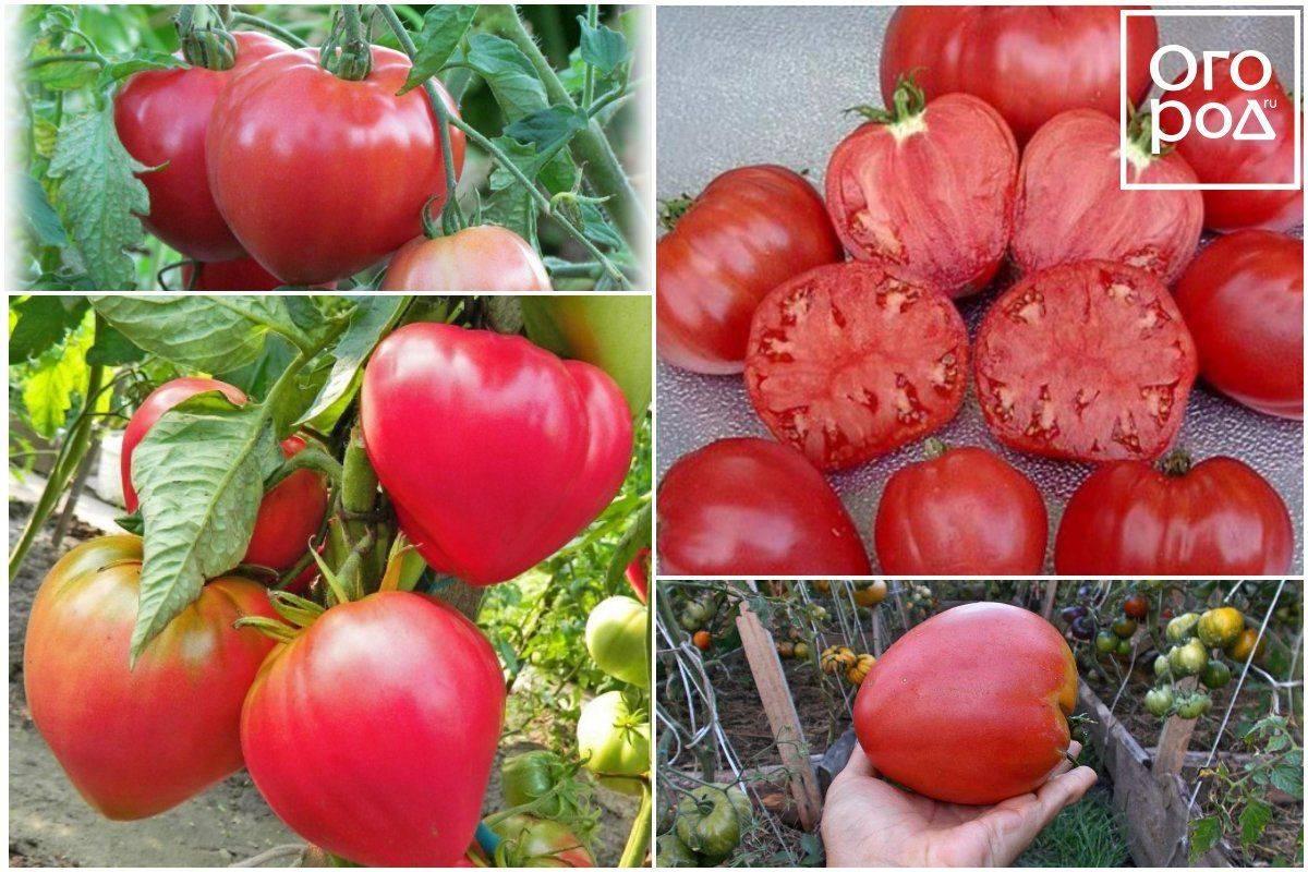 Топ-30 лучших сортов штамбовых томатов | +отзывы