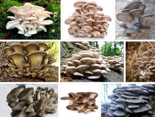 Вешенки: фото-обзор полезных и опасных свойств грибов вешенок