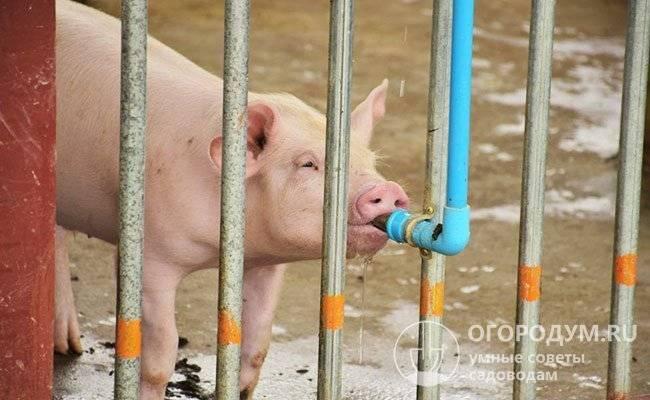 Поилки для свиней своими руками: описание, видео