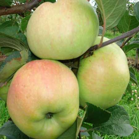 Описание сорта яблони дарья: фото яблок, важные характеристики, урожайность с дерева
