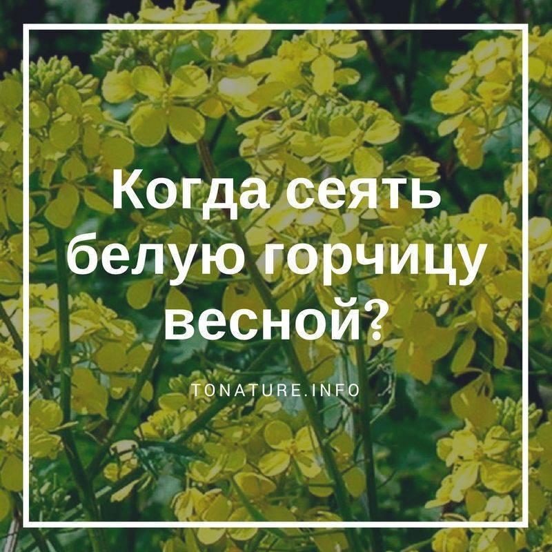 Сидерат горчица белая: когда сеять осенью и каковы особенности совместимости с различными овощными культурами?