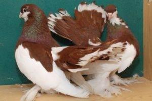 Как размножаются голуби: описание
