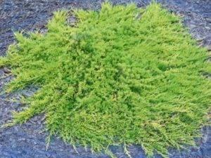 Можжевельник обыкновенный грин карпет juniperus communis green carpet