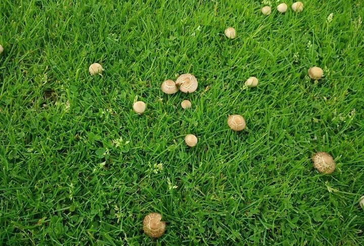 Как избавиться от грибов на газоне: как бороться с поганками и ведьмиными кругами, методы уничтожения и средства, что делать и как вывести препаратами