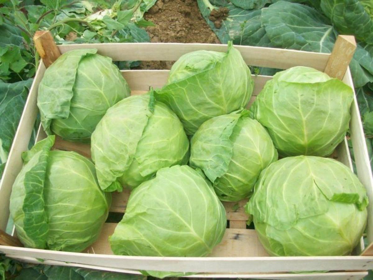 Неприхотливые сорта цветной капусты