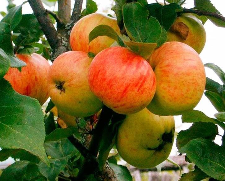 Описание и характеристики плодоношения сорта яблонь уэлси, выращивание и уход