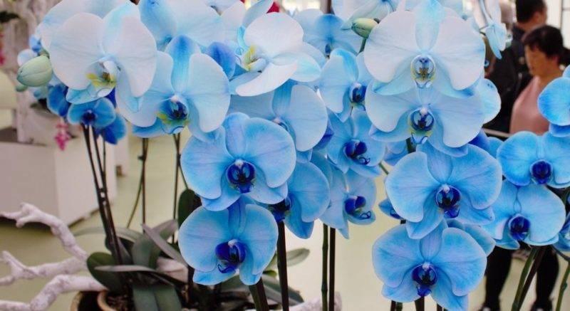 Синий фаленопсис: что такое орхидея небесного окраса, свойственен ли он ей от природы и как правильно организовать необычному растению уход в домашних условиях? selo.guru — интернет портал о сельском хозяйстве