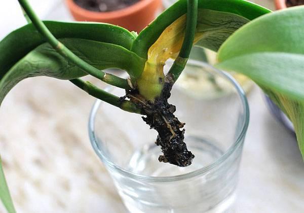 Что делать, если у орхидеи вянут цветы: причины и пути их устранения + спасение нераскрывшихся бутонов