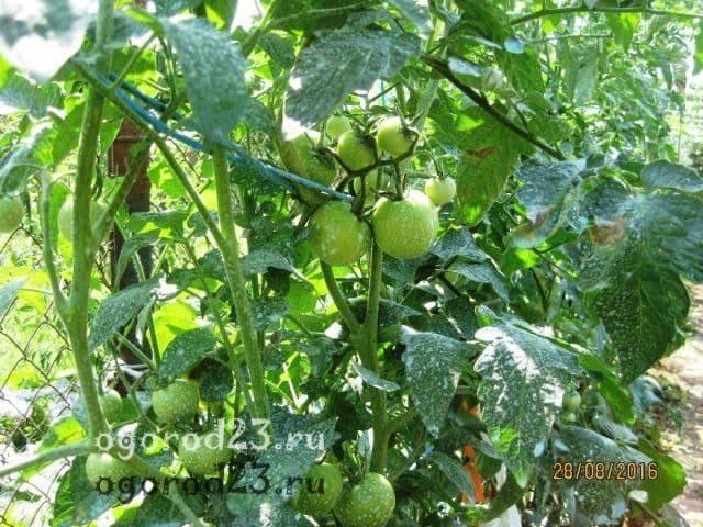 Помидоры «яблонька россии»: описание самого неприхотливого сорта с высокой урожайностью