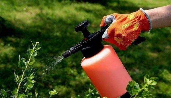 Когда и чем обработать смородину весной от вредителей и болезней