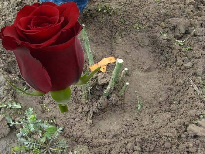 Как правильно сажать розы в грунт осенью
