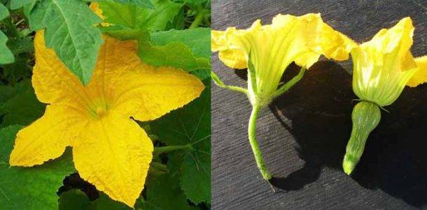 Пустоцвет на кабачках: что делать, нужно ли их срывать, выясняем причину появления