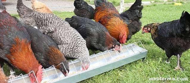 Мясокостная мука для кур: дозировка, как давать, где хранить