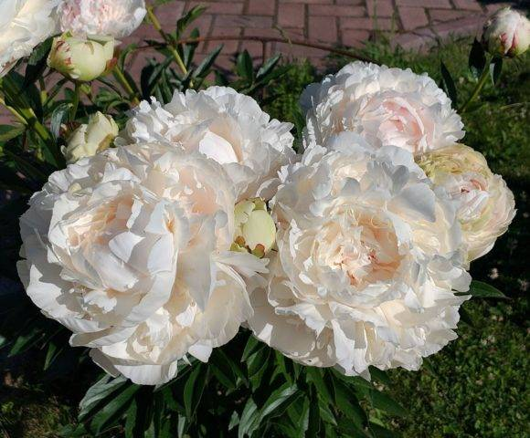 Описание травянистого пиона канзас: уход и посадка молочноцветкового сорта