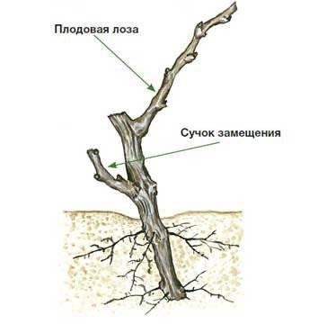 Формирование куста винограда: технологии, схемы обрезки лозы для начинающих