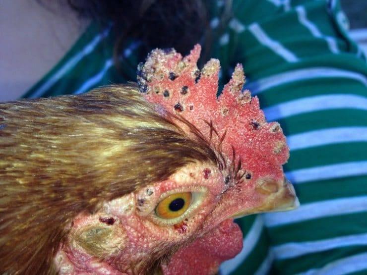 ❶ куриный клещ (dermanyssus gallinae) - как избавиться раз и навсегда