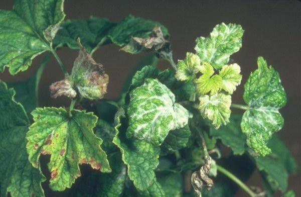 Что делать, если у смородины скрутились листья? | огородник у смородины скрутились листья — в чем причина? | огородник