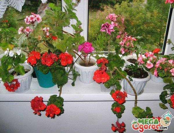 Уход в домашних условиях за геранью королевской: рекомендации для начинающих, как правильно ухаживать за растением для его хорошего цветения, а также фото русский фермер