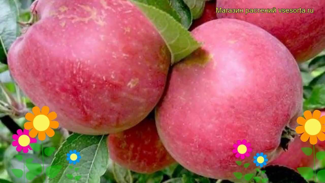 Яблоня мечта: описание сорта, характеристика, посадка и уход