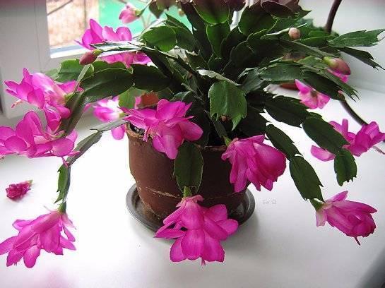 Декабрист – цветение: когда начинается и какой нужен уход. почему не цветет декабрист?