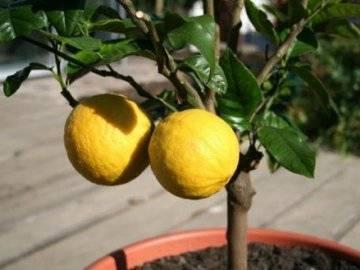 Как правильно привить лимон в домашних условиях